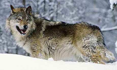 wolf460x276