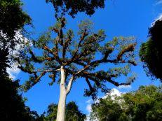 Kapok - the Mayan tree of life