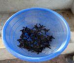 Basket of tortugas - Playa Hermosa, Nicaragua