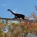 Howler Monkey #3