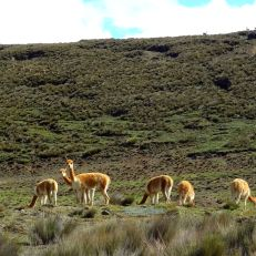 Packs of Vicunas